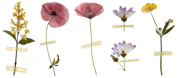 Dry flowers isolated on white picture id503534348?b=1&k=6&m=503534348&s=612x612&w=0&h=ravhoel 6lxcnd en0n3aikozdqarckwvebmnemibe0=