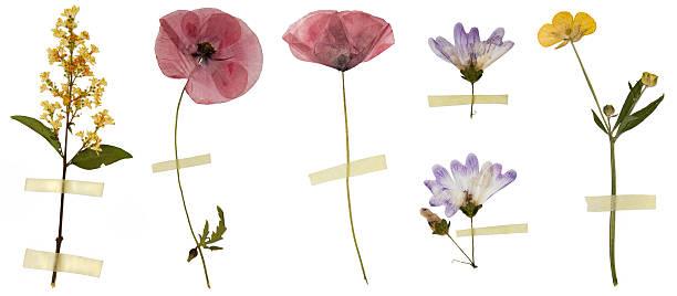 flores isoladas no branco seco - papoula planta - fotografias e filmes do acervo
