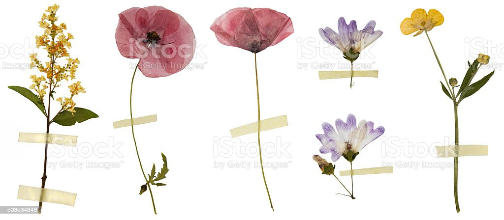 Dry flowers isolated on white stock photo