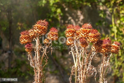 Dry flowers of Carduus, genus of flowering plants in the aster family. Carduus thoermeri, Asteraceae, dried thistle plant on the plateau Ai Petri, Crimea.