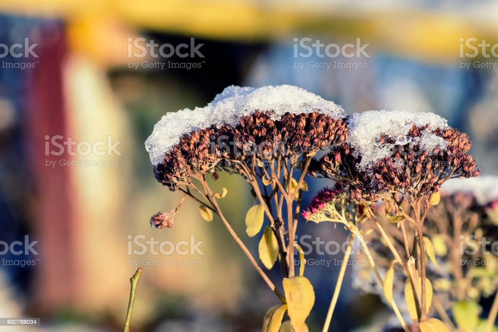 Dry flowers of gravel root sprinkled with snow (Eutrochium purpureum) stock photo