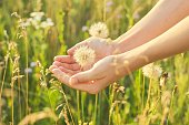 Dry fluffy dandelion in a childs hand, summer wild meadow grass and flowers background.