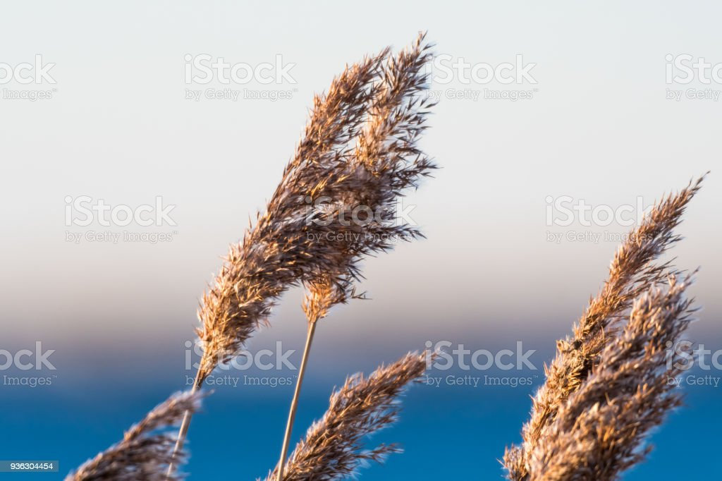 Dry fluffy reed flowers stock photo