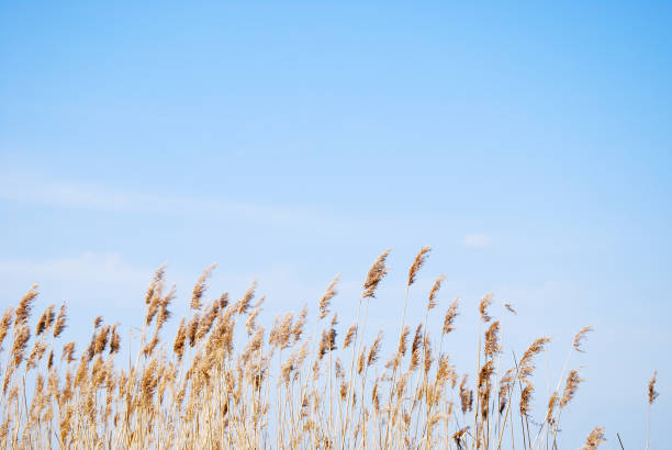 Dry fluffy reeds stock photo