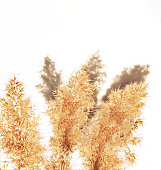 Dry fluffy twigs of common reed or pampas grass on a white background. Abstraction, floral background, minimal, copy space