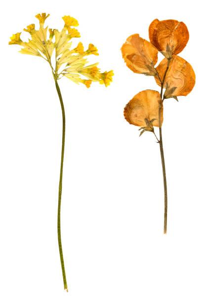 dry gentian yellow spring flower isolated - gentiaan stockfoto's en -beelden