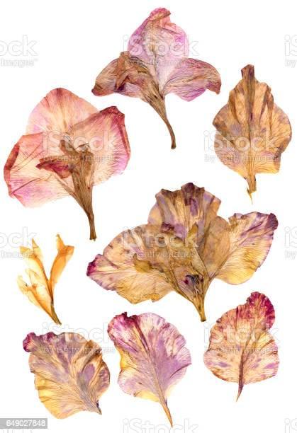 Dry gladiolus flower petals picture id649027848?b=1&k=6&m=649027848&s=612x612&h=3uzyrvfclchptm8h4yps ipx7nxjt3uip31vhaxhii0=