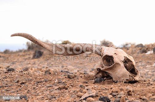 Dry Goat Skull on the Rock Desert Canary Islands Spain