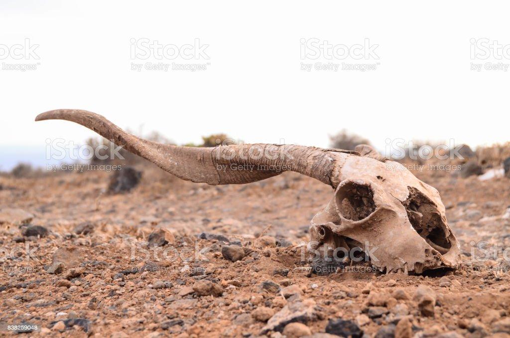 Dry Goat Skull stock photo