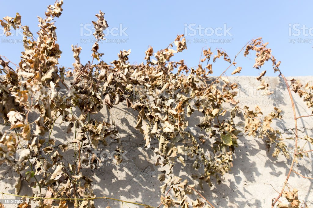 dry grape leaves against the blue sky stock photo
