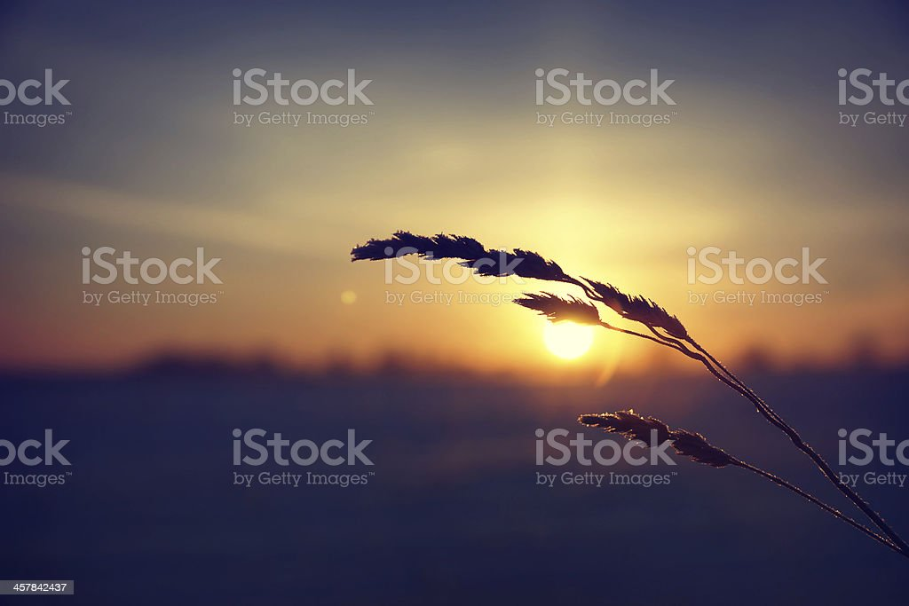 Dry grass against cold winter sunrise royalty-free stock photo