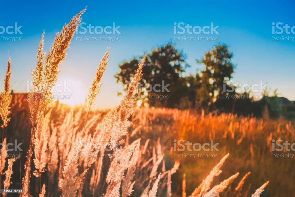 Herbe sèche au soleil coucher de soleil. Belle plante sur fond de paysage de Sunrise. Sun Shine par l'intermédiaire de tiges d'herbe sèche. Automne ou fin été Nature - Photo de Automne libre de droits