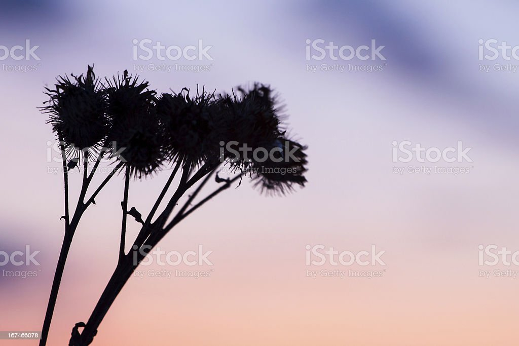 dry grass silhouette , nature background royalty-free stock photo