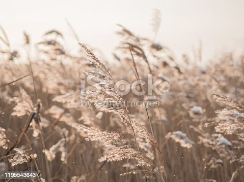 Dry grass sways in the wind in the sun in winter. Beige reed. Beautiful nature trend background. Closeup.