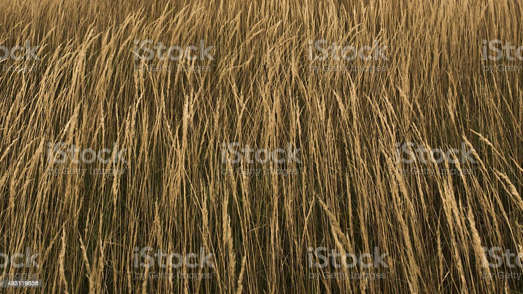 Dry Grass Texture Stock Photo & More Pictures of 2015 - iStock