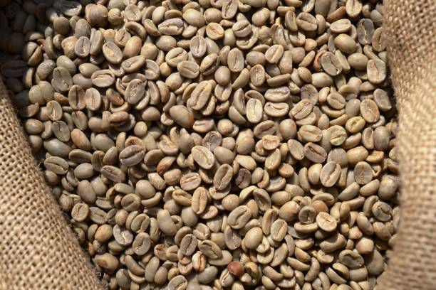 Dry green coffee beans in sack of rough canvas under the direct sunlight. stock photo