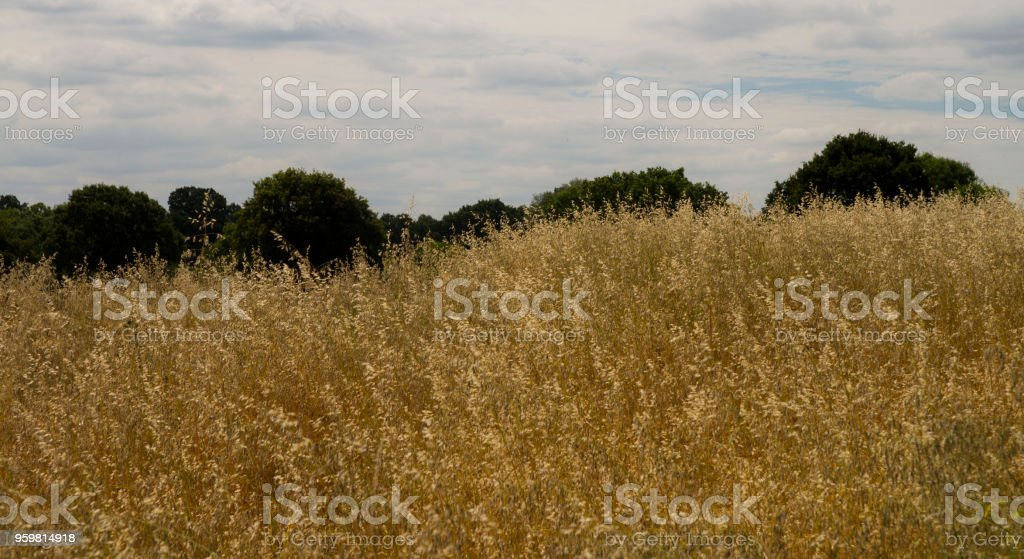 Dry hay field in summer stock photo