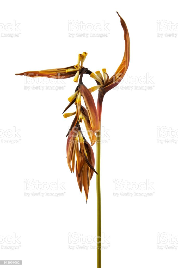 Dry Heliconia psittacorum (Golden Torch) flowers, Tropical flowers dried isolated on white background, with clipping path stock photo