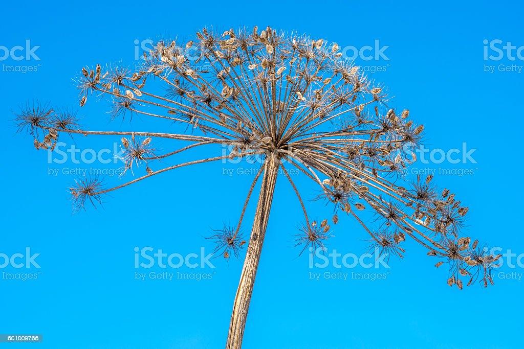 Dry herb Hogweed stock photo