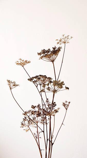 Dry hogweed flowers picture id151559127?b=1&k=6&m=151559127&s=612x612&w=0&h=uubwlwa3pjmvm19i qpmzxlozsk7qll8a pqdoonsu4=