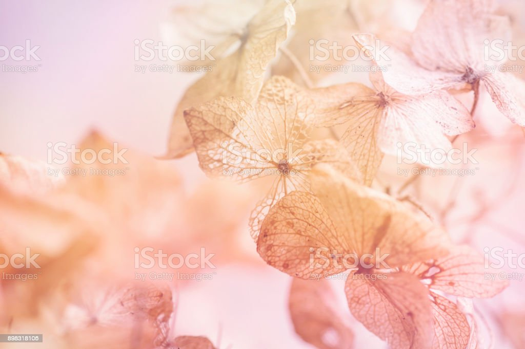dry hydrangea floral background stock photo