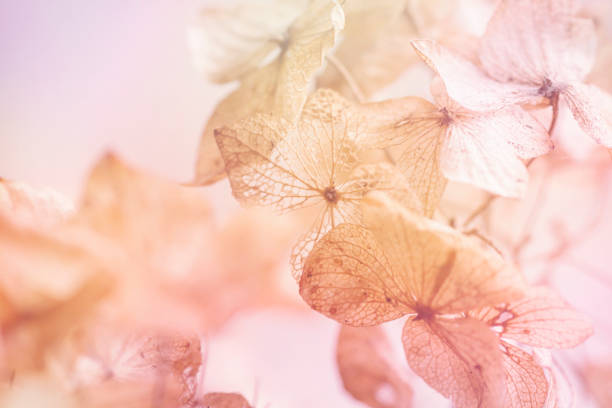 fondo floral de hortensia seca - sepia imagen virada fotografías e imágenes de stock