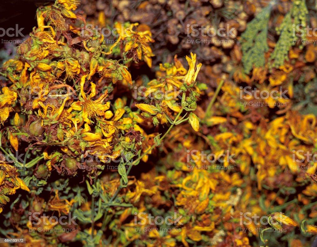 Dry Hypericum Perforatum foto stock royalty-free
