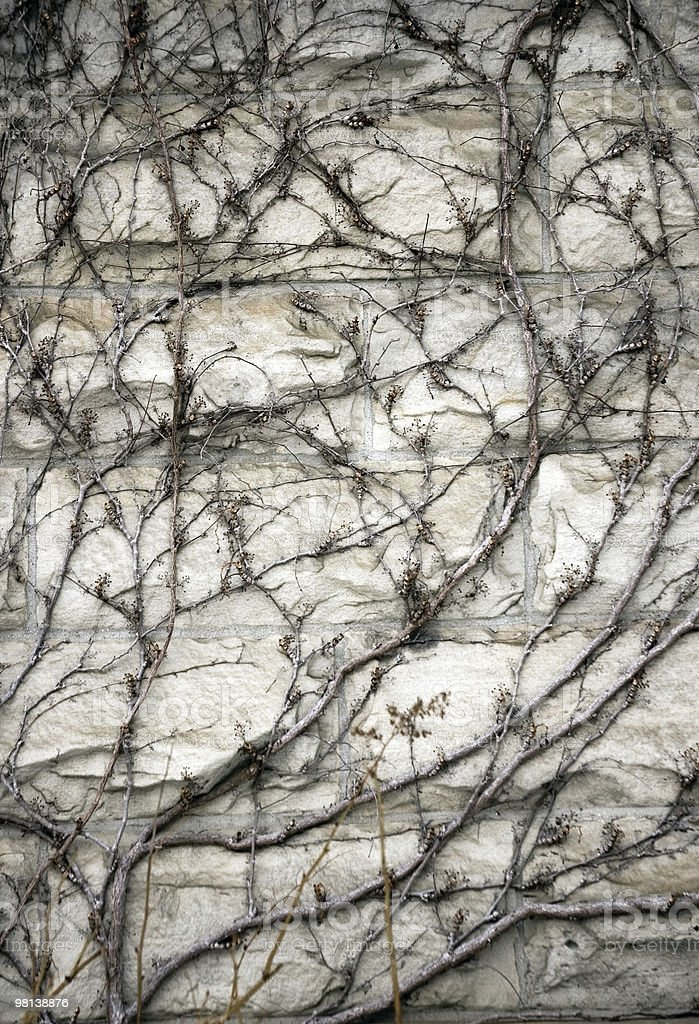 Dry ivy on the wall royalty-free stock photo