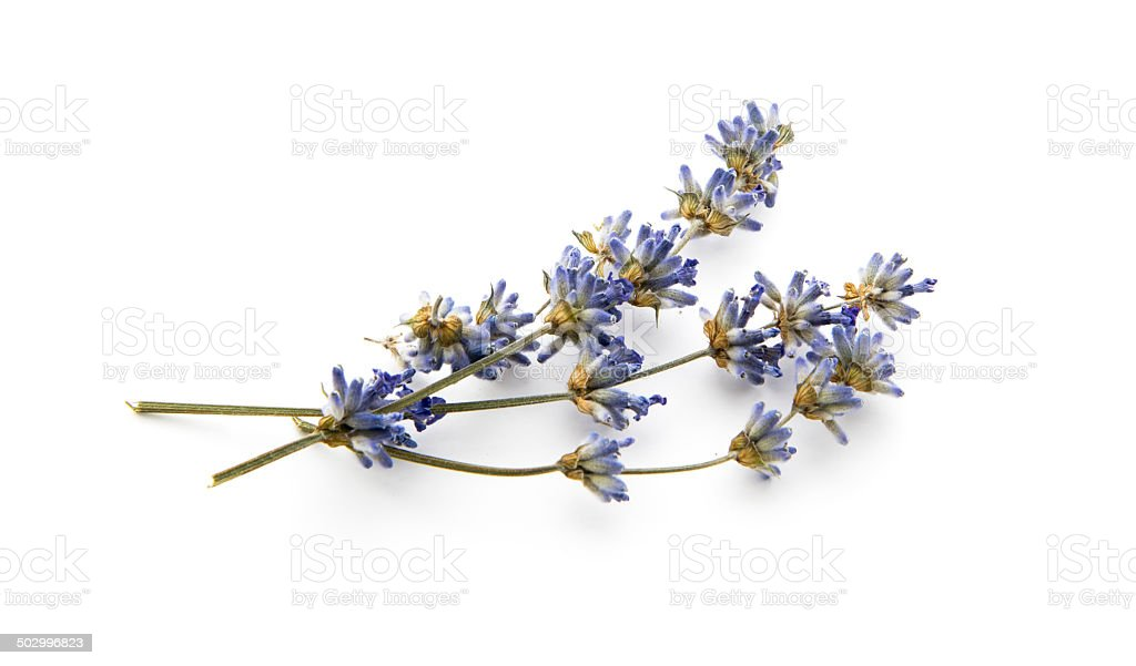 dry lavender stock photo