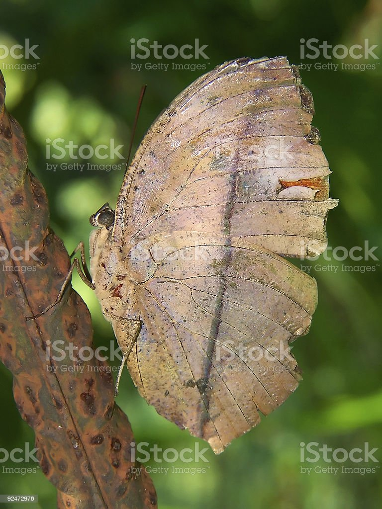 Dry leaf butterfly royalty-free stock photo