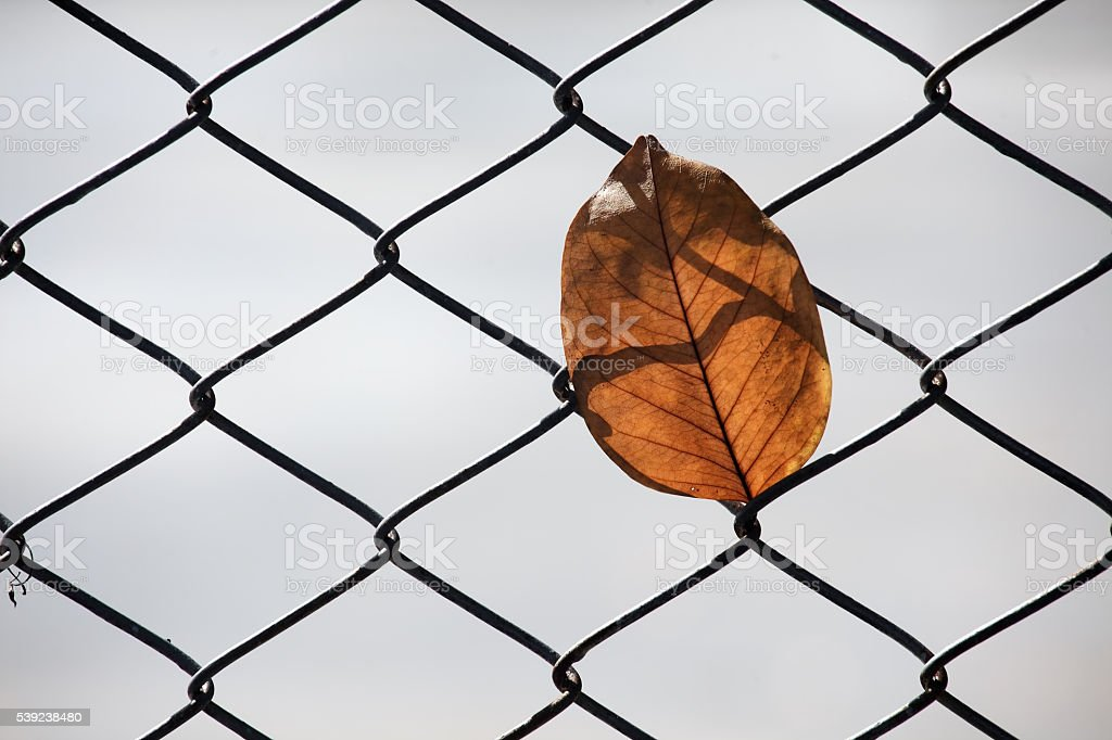 dry leaf on mesh fence royalty-free stock photo