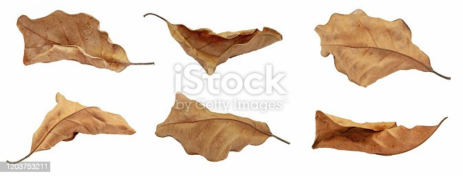dry leaf or dead leaf isolated on white background