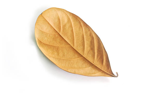 Dry leaf. (With Clipping Path). stock photo
