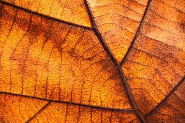 texture sèche de feuille et fond de nature. surface de la matière brune de feuilles. - couleur des végétaux photos et images de collection