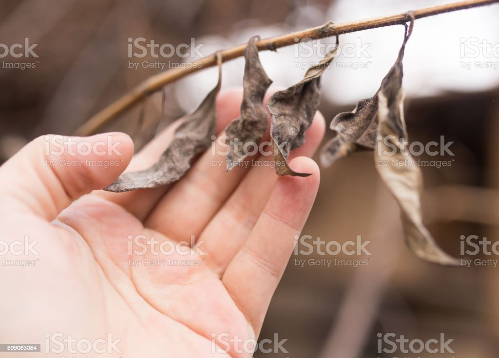dry leaves in hand on nature stock photo
