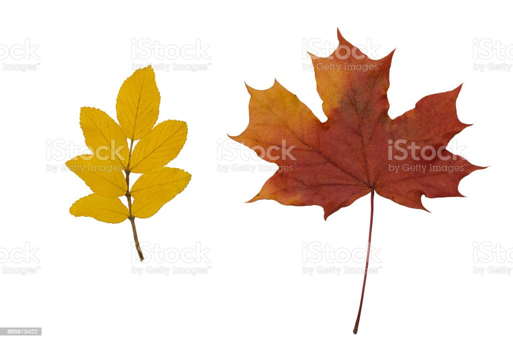dry leaves of mountain ash and maple on white background stock photo