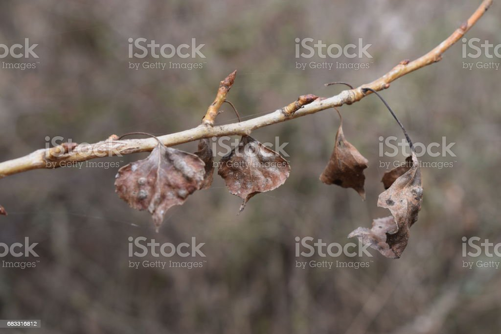 Dry leaves on a branch. royalty-free stock photo