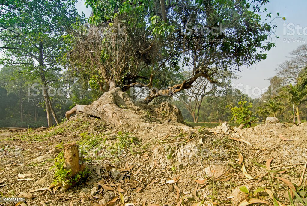 Dry leaves lying still on ground beside huge tree roots in a forest,...