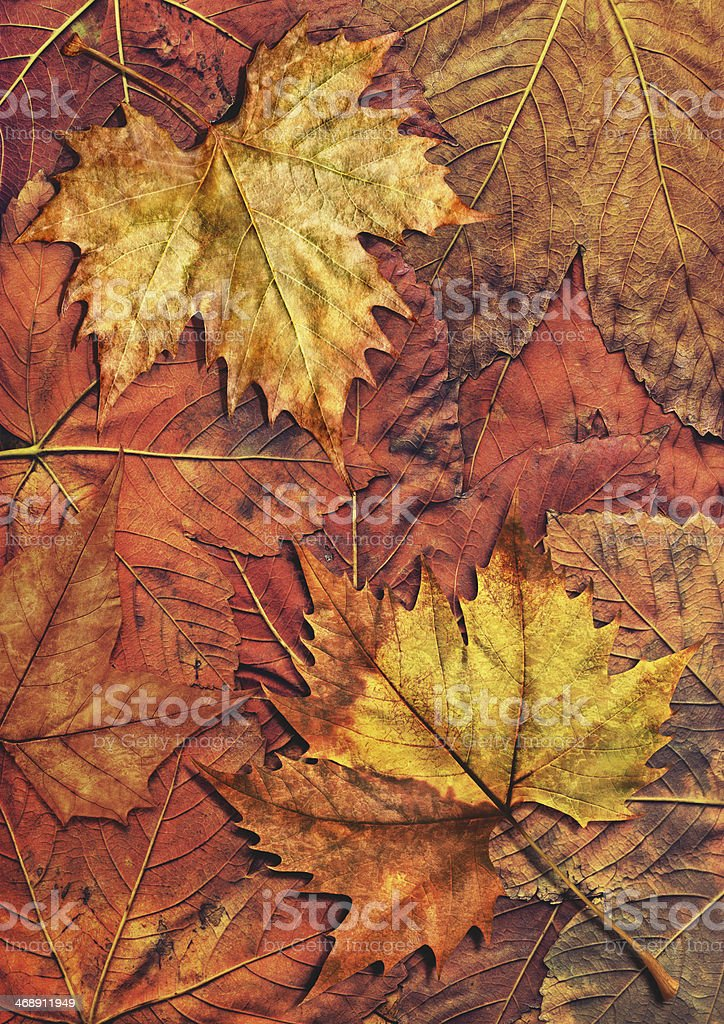 Dry Maple Leaves Isolated On Autumn Foliage Backdrop royalty-free stock photo