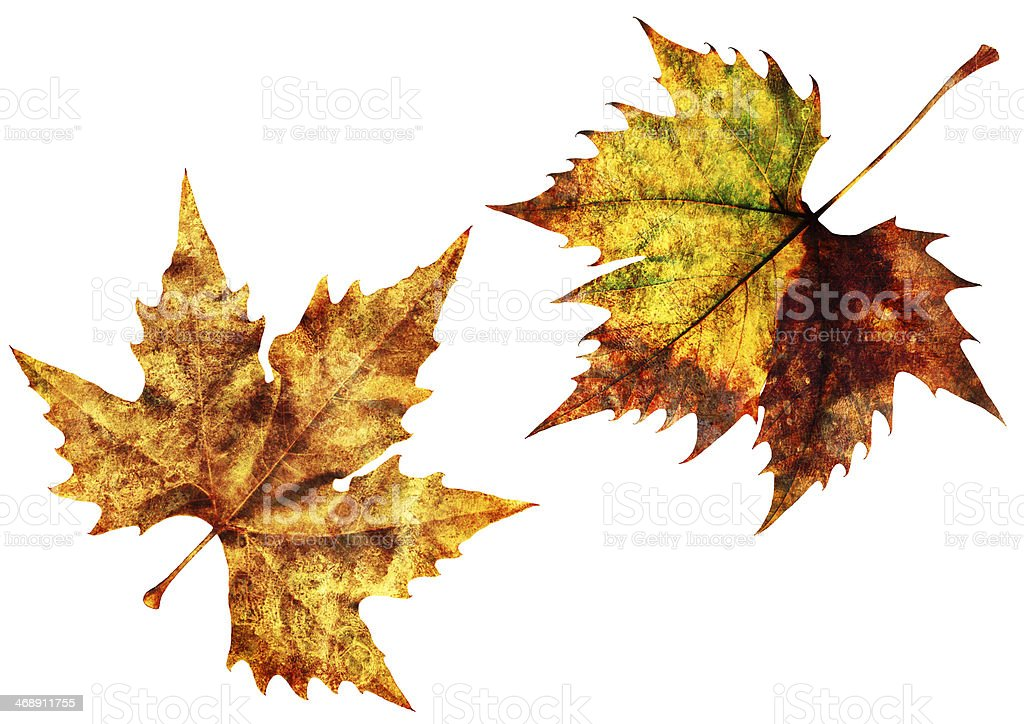 Dry Maple Leaves Isolated On White Background royalty-free stock photo