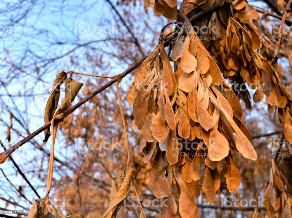 dry maple seeds on a branch in late autumn stock photo