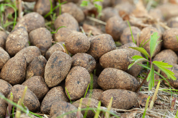 Dry moose droppings stock photo