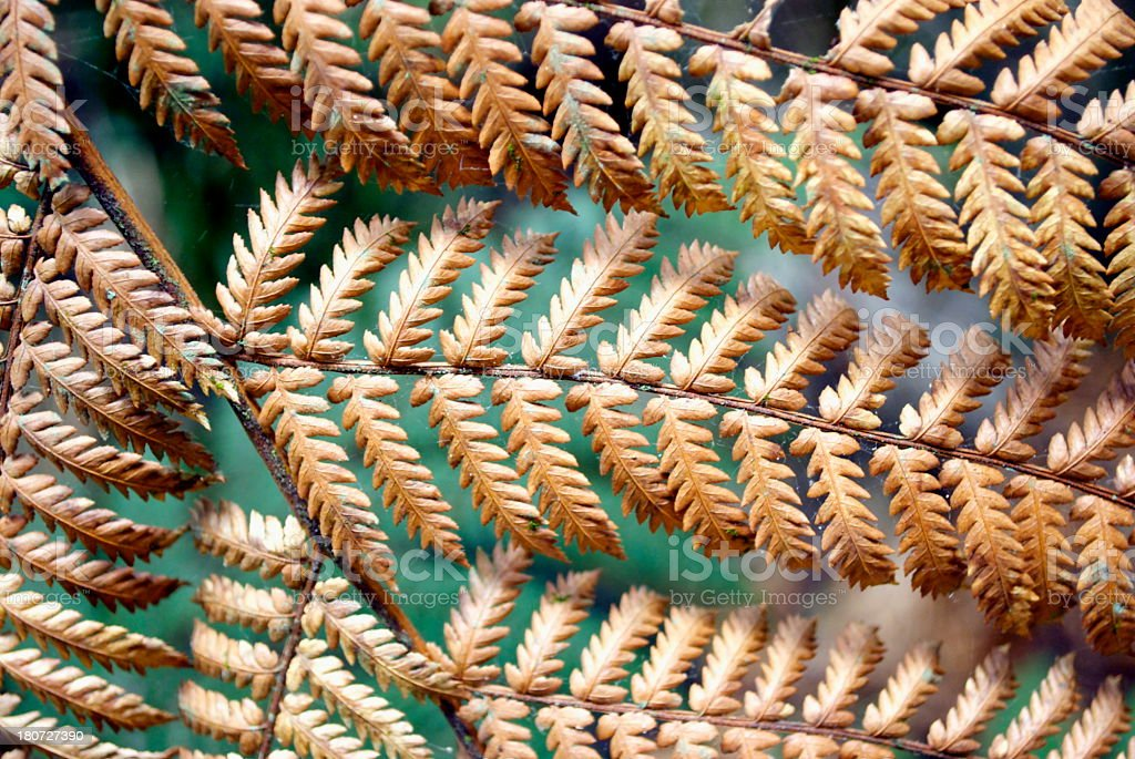 Dry New Zealand Silver Fern royalty-free stock photo