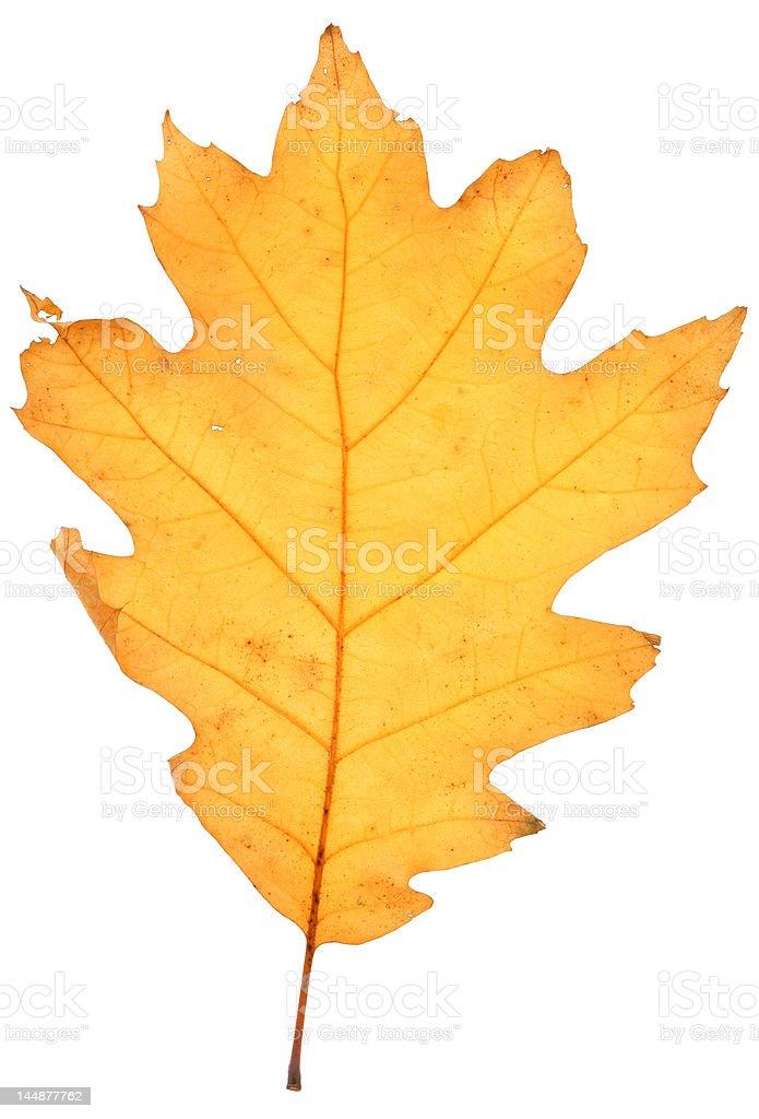 dry oak leaf royalty-free stock photo