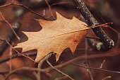 Dry oak leaf stuck in branches in early December