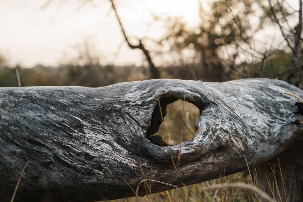Dry old fallen tree on meadow, close up stock photo