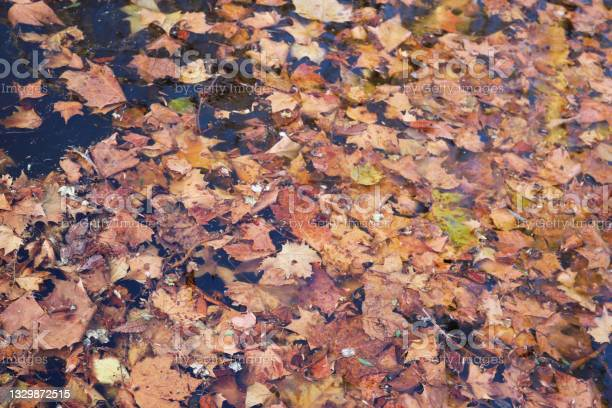 Photo of dry orange and brown leaves carpet floating in a dark water - melancholic autumn or winter background