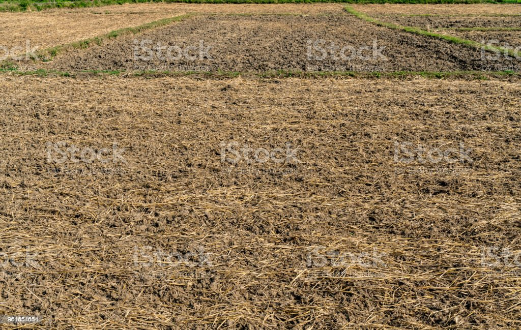 Dry Paddy filed royalty-free stock photo