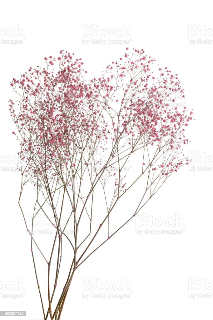 Dry pink baby's breath flowers isolated on white background stock photo