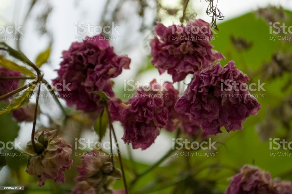 Dry pink flowers with lace silhouettes. Simple still life stock photo